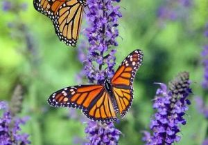 Butterfly-picture-1