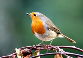robin-on-branch-royalty-free-image-1567774522